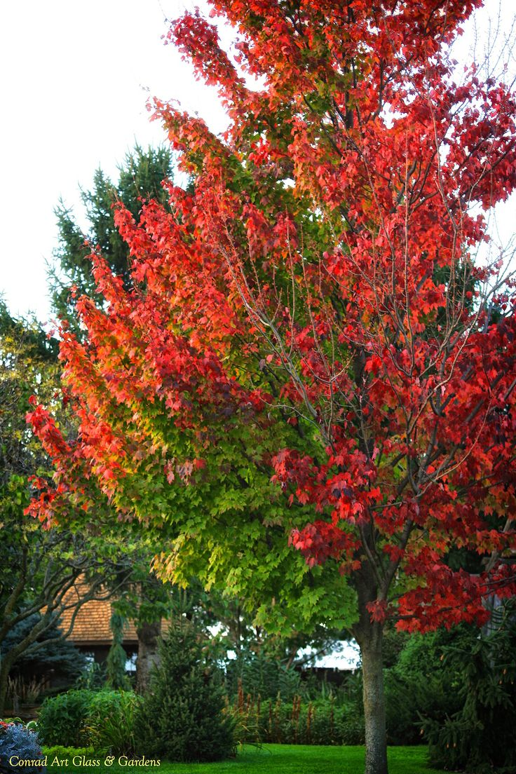 1000 Ideas About Acer Rubrum On Pinterest Acer Palmatum Maple