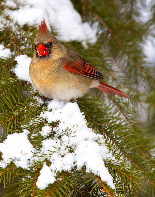 Female cardinal on pine branch