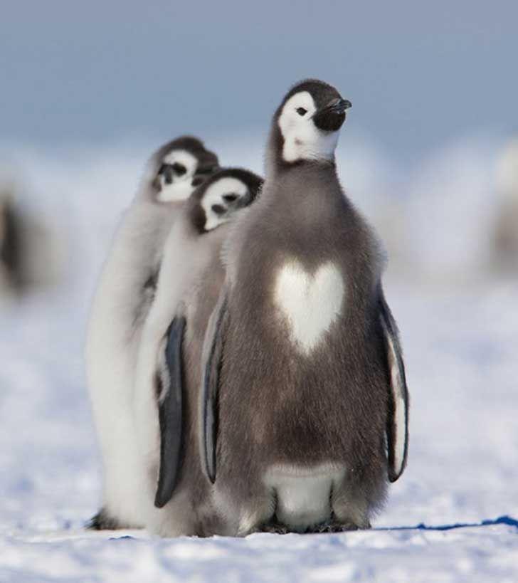 Pinguino corazòn (ave marina)