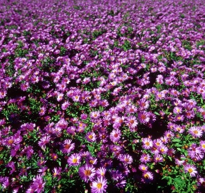 17 best images about perennials for north dakota and for Perennial wood