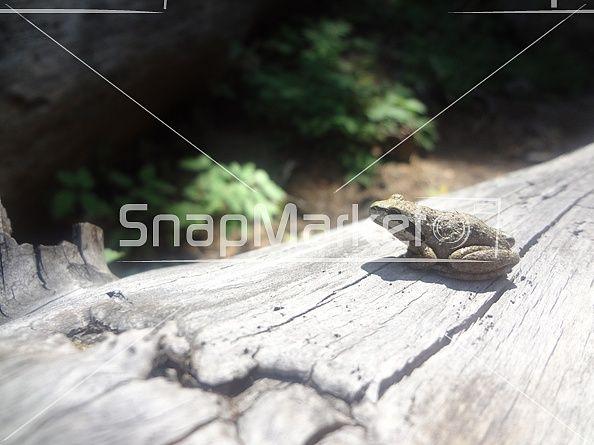 Frog Resting on a Log