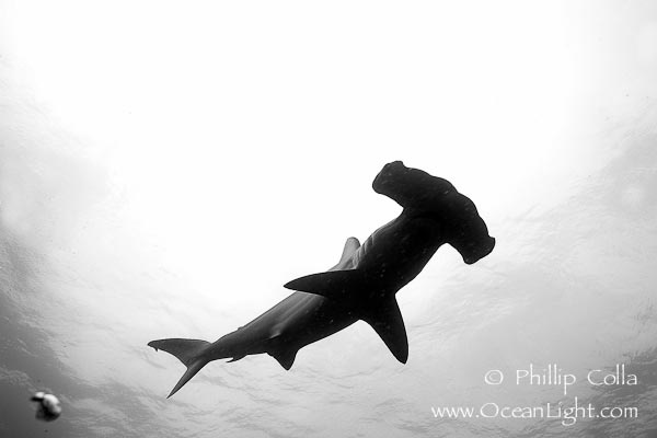 Hammer squalo martello