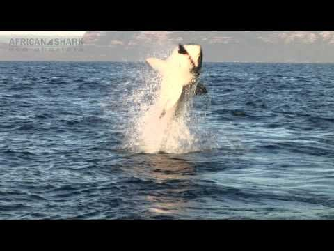 Great White Shark Cage Diving - ASEC promo SHORT VERSION with African Shark Eco-Charters