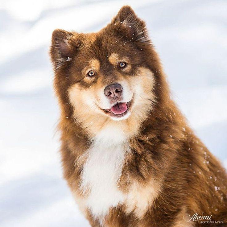 Finnish Lapphund. So gorgeous!