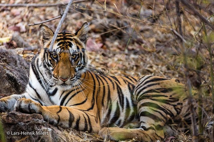 Cubs of Dhara Bandhavgarh NP India Canon EOS 5 DSr 1/180 f/56 Iso 1600 600mm
