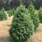 Buying Real Xmas Trees in Perth WA