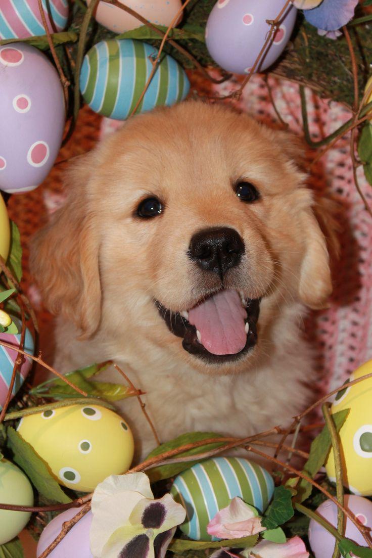 Solo - Golden Retriever Puppy - 6 weeksEaster Golden, Golden Retrievers, Goldenretriever Dogs, Easter Puppies, Baby Dogs, Easter Baskets, Happy Easter, Golden Goldenretriever, Golden Retriever Puppies