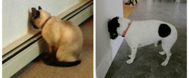 Perché il cane (o il gatto) appoggia la testa al muro?