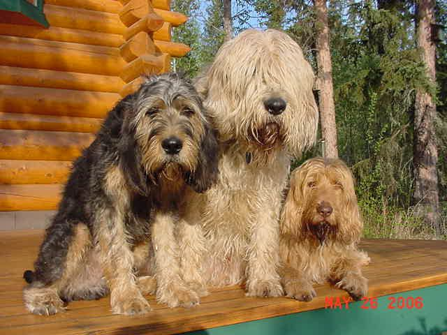 These are the Otterhounds from Fairbanks that I was looking at.  I found them on Pinterest.  Another example of what a small world it is.