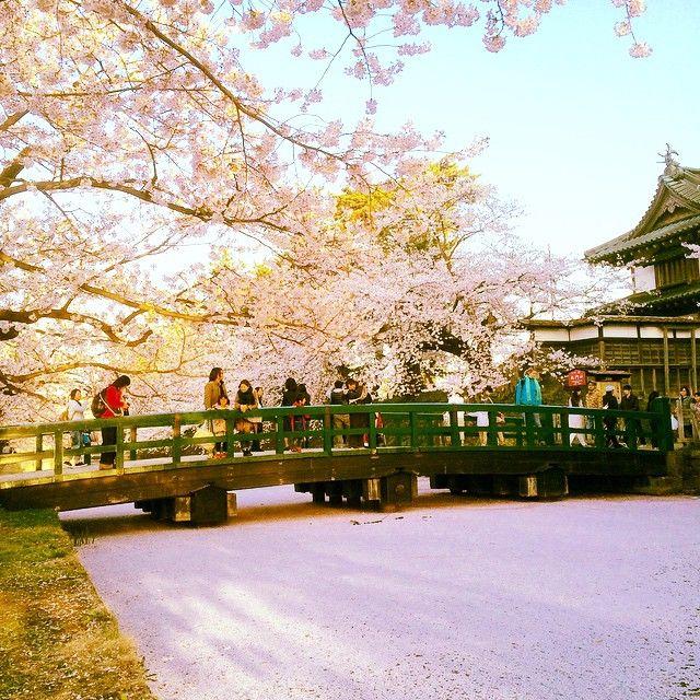 散り始めてからが見頃! 水面に浮かぶ桜の絨毯が美しすぎて絶句 青森県にある弘前公園 桜の絨毯の見頃は4月下旬〜5月上旬 ホームページ:弘前さくらまつり