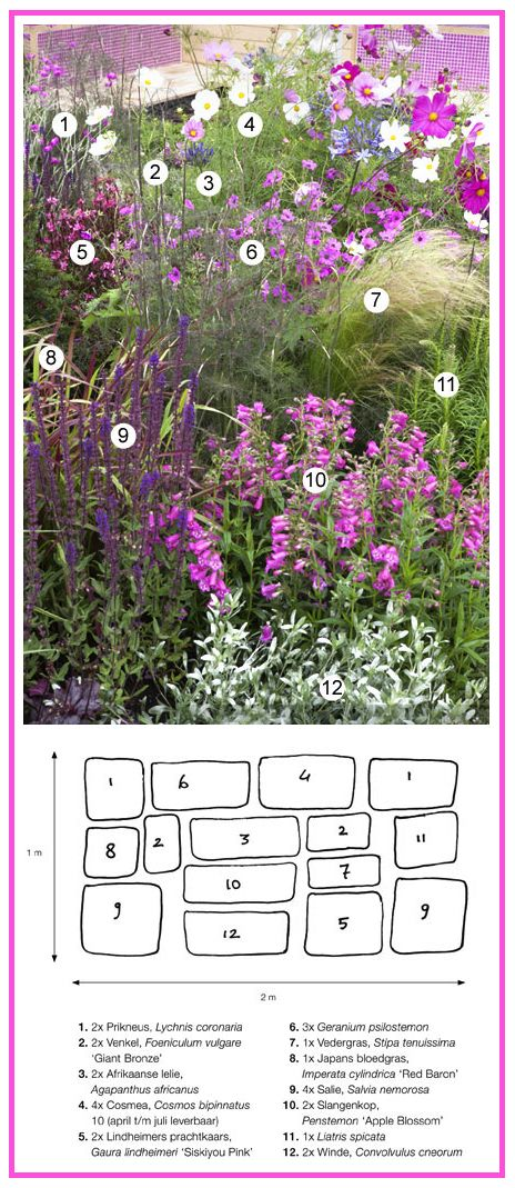 Soft Pink Border ................ 1. Rose Campion (Lychnis coronaria)  2. Sweet Fennel 'Giant Bronze' (Foeniculum vulgare)  3. Lily of the Nile (Agapanthus africanus)  4. Cosmos bipinnatus  5. Gaura lindheimeri 'Siskiyou Pink'  6. Cranesbill Geranium  7. Finestem Needlegrass (Stipa tenuissima)  8. Cogon Grass 'Red Baron' (Imperata cylindrica)  9. Woodland Sage (Salvia nemorosa)  10. Penstemon 'Apple Blossom'  11. Liatris spicata  12. Silverbush (Convolvulus cneorum)