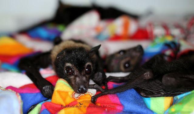 Rehab   Cairns Qld Megabat babies Spectacled in care, Pteropus conspicillatus