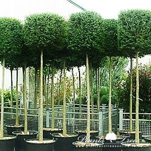 Lollipop Trees for Sale - Topiaries | Plants & Trees Online