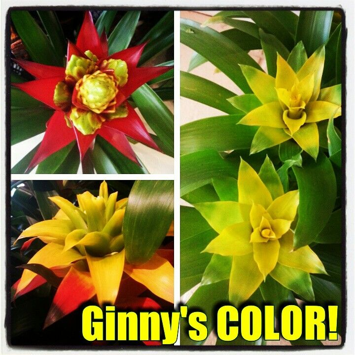 LUVly color, in the bromeliads from Ginny's Orchids on Morse ...