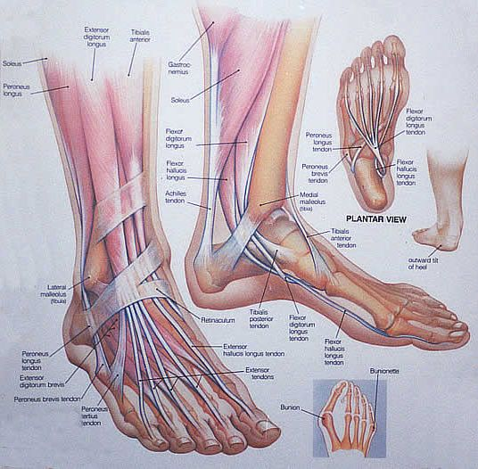 muscle anatomy | foot anatomy 300x294 Tomatillo Gazpacho Recipe and Happy Feet what a ...
