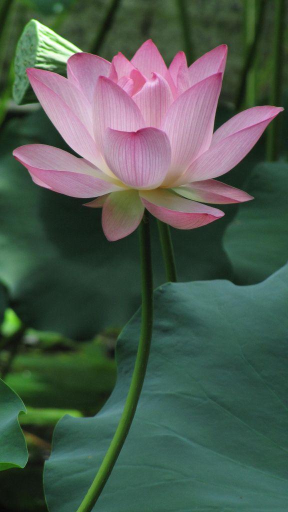 Bellísima Flor De Loto! Beautiful Lotus Flower!
