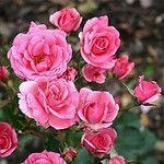 Olejek różany bułgarski NATURALNY
