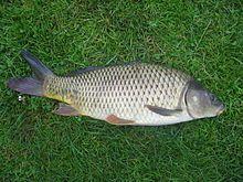 Wikipedia | Common carp (Cyprinus carpio)