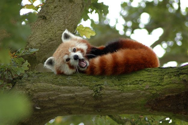 Los pandas rojos usan sus tupidas colas como mantas para mantenerse calientes… | Los 29 datos más adorables que alguna vez conociste
