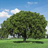 Live Oak Tree for Sale