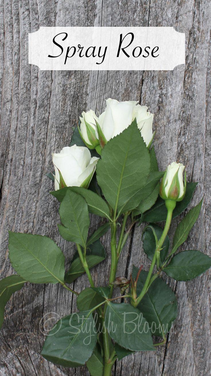 White spray rose 'vivian'