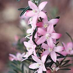Crowea exalata - Waxflower
