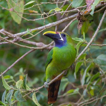 wildlife-spotting-early-bird-tour-reserva-El-Dorado-visit-Colombia-Lulo