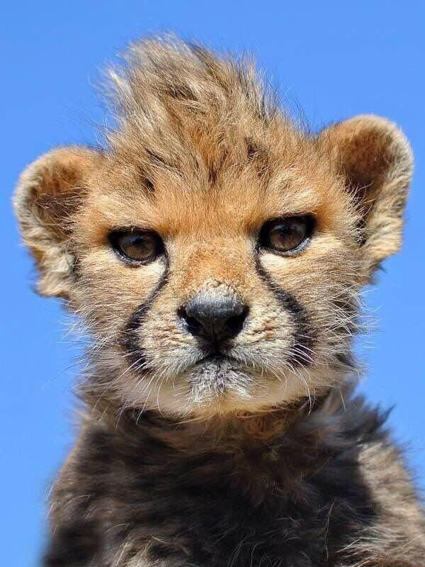 Baby Cheetah With Mohawk With Images Cute Animals Animals
