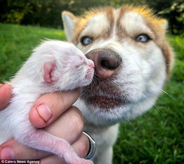 Hero Husky Rescues Seven Abandoned Newborn Kittens Newborn