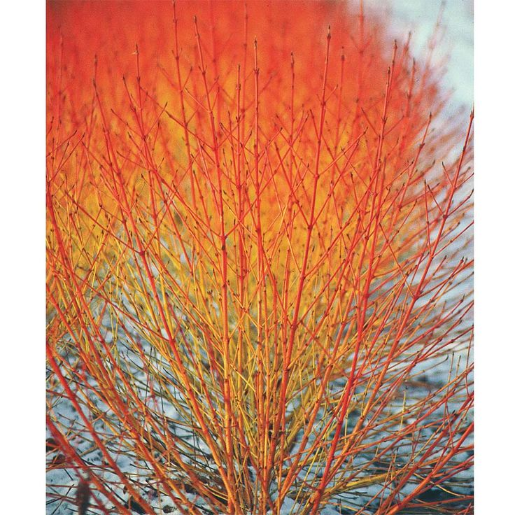 Swida 'Winter Flame - shrub, sun to part shade, zones 5-8