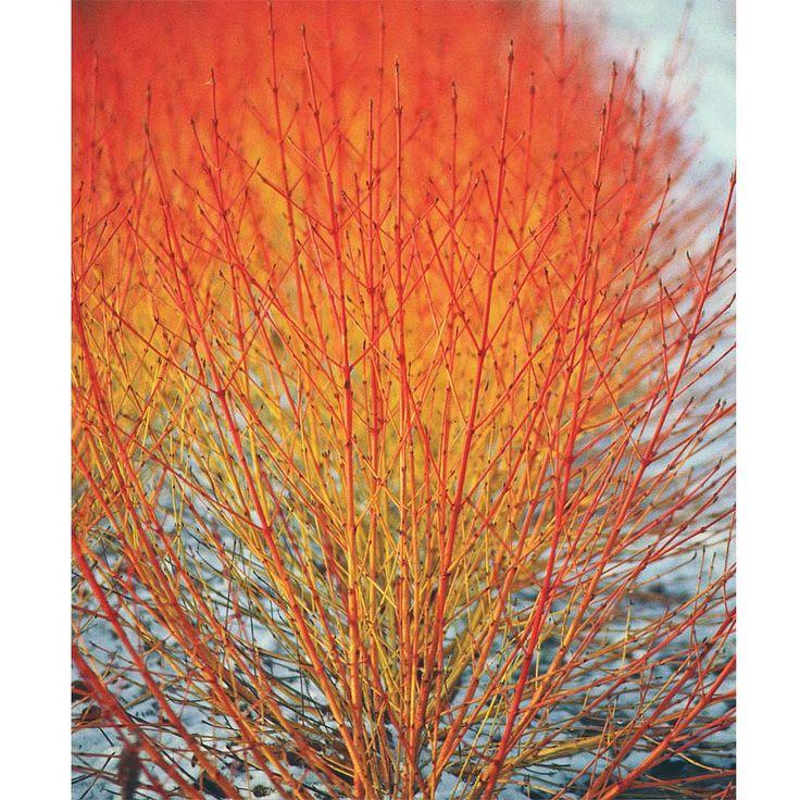 Swida 'Winter Flame - shrub, sun to part shade, zones 5-8