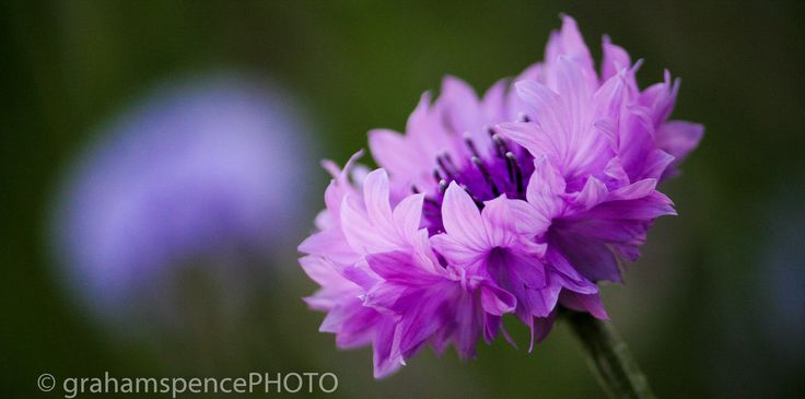 Pale cornflowers grow wild in many community gardens throughout Vancouver, BC