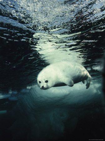 Harp Seal pup - Arctic Ocean
