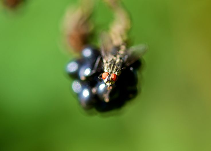 Photographer Pernille Westh | Fly on blackberry · Get my 7 FREE basic photography tips - you need to know! http://pw5383.wixsite.com/free-photo-tips