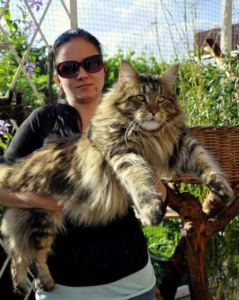 Maine coon cat for rescue
