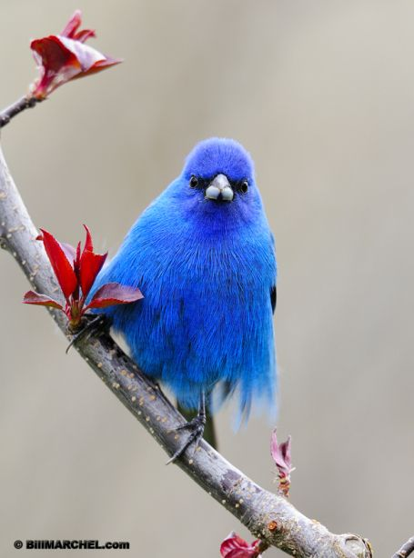 : Bluebirds, Animals, Beautiful Blue, Buntings, Beautiful Birds, Blue Birds, Indigo Bunting, Gorgeous Color