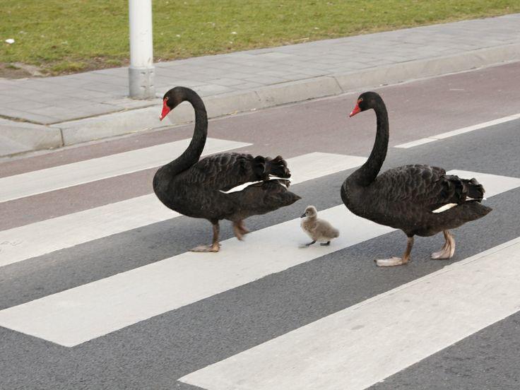 Het bekende koppel zwarte zwanen in Goes heeft een kuiken gekregen. Ze steken bij de Westwal in Goes keurig de straat over via het zebrapad. lezersfoto Roger de Haan     http://www.pzc.nl/2.1898/2.1978/lezersfoto-stuur-in-1.3595645