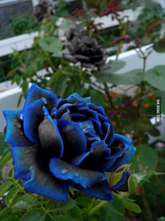 Beautiful black and blue rose
