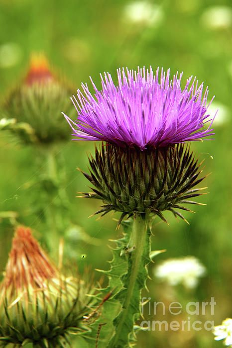 The beauty of a thistle