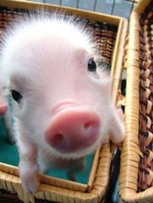 """""""Thank you for eating vegetarian,"""" the cute piglet said!"""