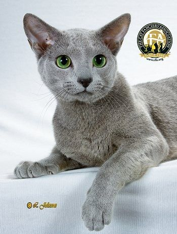 Breed Profile: The Russian BlueLittle is known about the origin of the Russian Blue breed, though stories are legendary. Many believe the Russian Blue is a natural breed originating from the Archangel Isles in northern Russia, where the long winters developed a cat with a dense, plush coat. Rumors also abound that the Russian Blue breed descended from the cats kept by the Russian Czars.