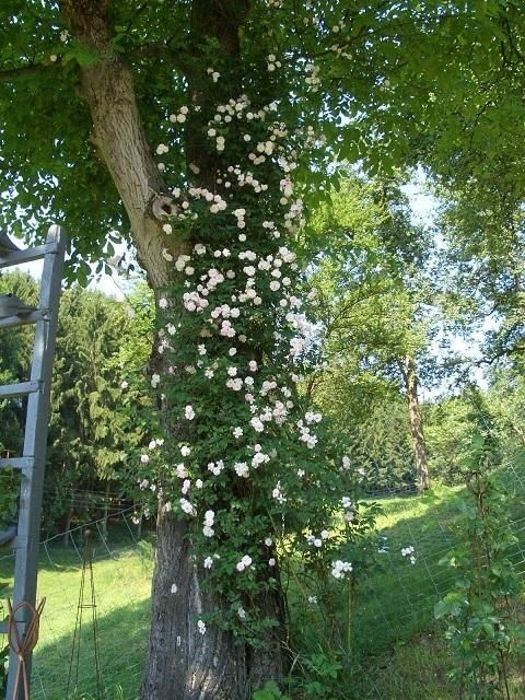 Best Rumbler Rosen f r einen Wallnussbaum Seite Rund um die