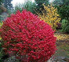 Burning Bush perfect for homeowners looking for a scintillating burst of bright crimson in their garden - Euonymus alatus a perfect choice! [LEARN MORE]