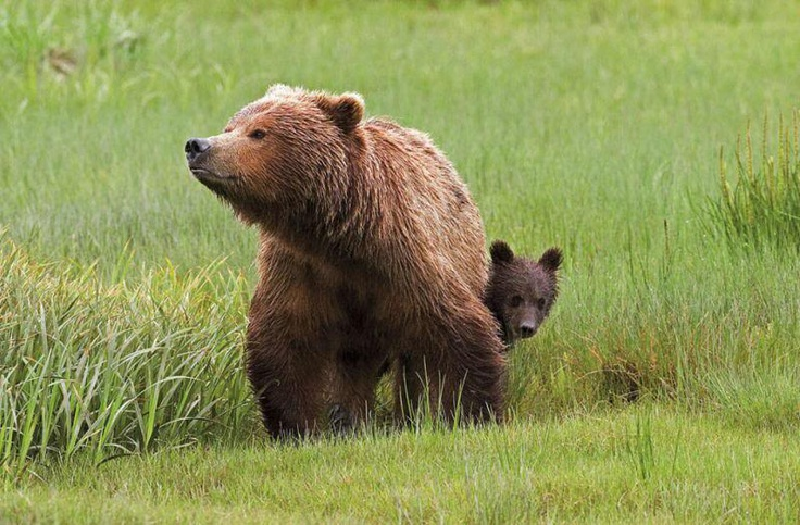 Mother Love Towards Baby: Clark, Mothers Love, Bears Cubs, Alaska, Fun Stuff, Brown Bears, Baby Bears, Animal, Bears Lakes
