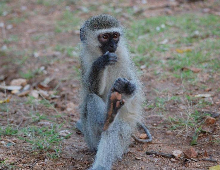 A tiny baby vervet monkey. #EpicEnabled