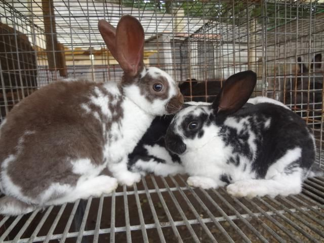 Rex, Broken Rex & Mini Rex Rabbits for sale | Drummond | Gumtree South Africa | 110855492