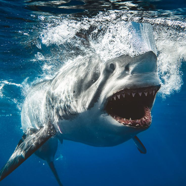 Massive great white shark perfectly recreates iconic Jaws movie poster in photographer's stunning underwater pic