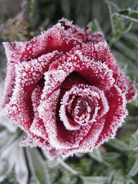 Kerstsfeer Slaapkamer Idee: maak rode kunststof rozen ijzig met een klein beetje doorzichtige lijm en nep sneeuw (op de lijm strooien voordat deze gedroogd is)