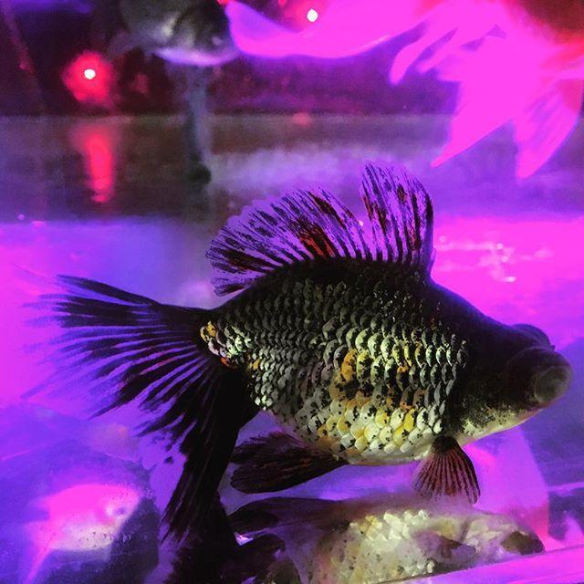 【kotobukicchi】さんのInstagramをピンしています。 《金魚屋さんに珍しい柄の出目金が居たから即買いしちゃった #金魚#出目金#アクアリウム#アートアクアリウム#インテリア#インテリア水槽》