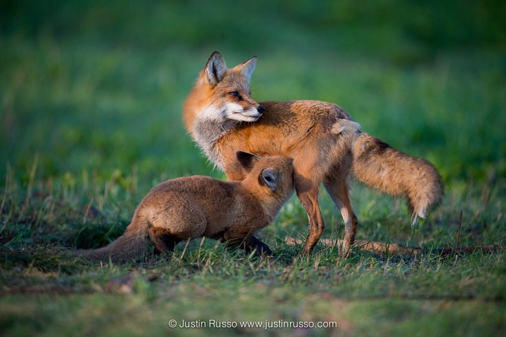 Mother Fox and pup - A mother fox feeding her pup in the early morning.